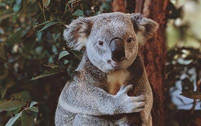 Koala bear in a zoo