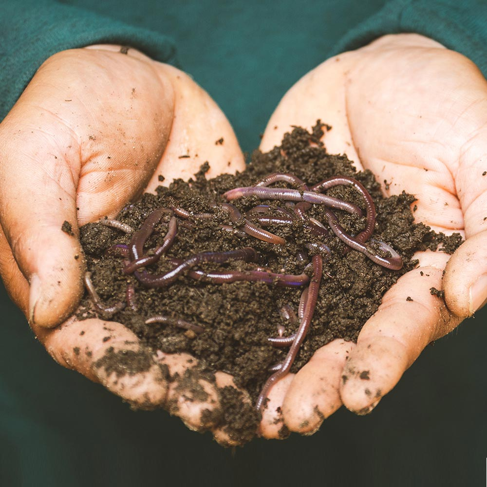 hands holding worms in compost