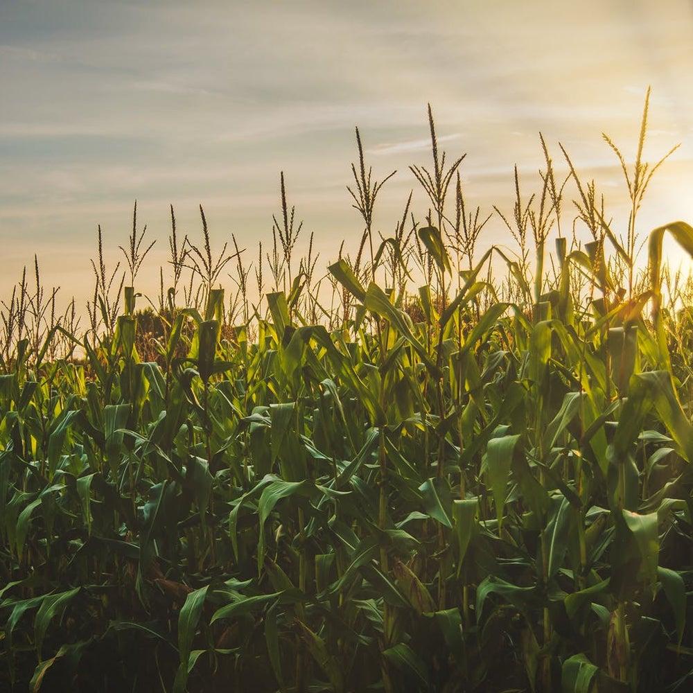 corn fields for bioplastic