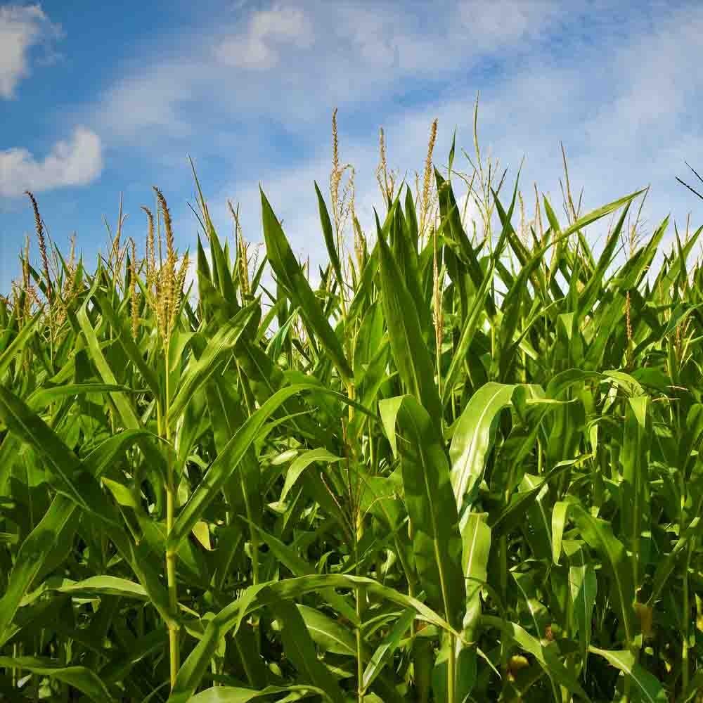 image of corn fields